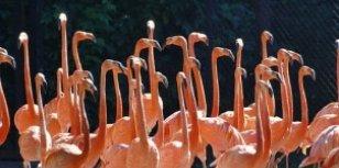 Baden met flamingo's in het mangrovegebied van de Rio Lagartos